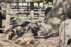 Water buffalo herd in stable. Stock Photo