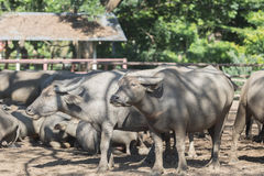 Water buffalo herd in stable. Pasture raised Asian water buffalo. free range husbandry Stock Image
