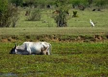 Water buffalo and heron Stock Image