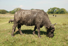 Water Buffalo, Hungary Stock Photo