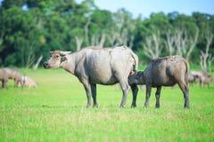 Water buffalo Stock Image