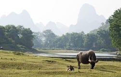 Water Buffalo In China Stock Photo