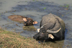 A water buffalo and its young are bathing in a lake in the countryside near Hanoi (Vietnam) Royalty Free Stock Images