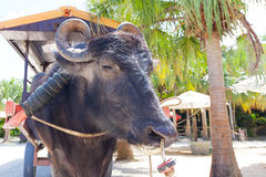 Water buffalo in japan Royalty Free Stock Images