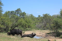 Water buffalo in Kruger national park, South Africa Stock Photo