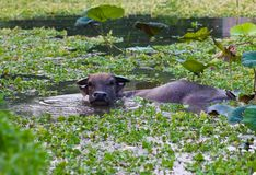 Water buffalo in lake Royalty Free Stock Image