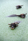 Water buffalo in lake Royalty Free Stock Photo