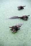 Water buffalo in lake