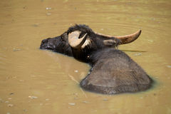Water Buffalo in lake Stock Photo