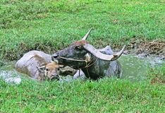 Water in buffalo. A large black domesticated buffalo with heavy swept-back horns, used as a beast of burden throughout the tropics Royalty Free Stock Photos