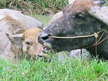 Water in buffalo. A large black domesticated buffalo with heavy swept-back horns, used as a beast of burden throughout the tropics Stock Photo
