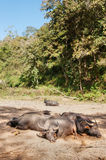 Sleeping water buffalo Royalty Free Stock Photos