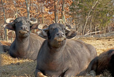 Water buffalo lie in the hot sun chewing. Royalty Free Stock Photo