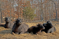 Water buffalo lie in the hot sun chewing. Royalty Free Stock Photos