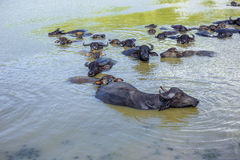 Water buffalo, livestock, cattle, while in the water to reduce there body heat. royalty free stock photos