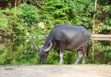 Water buffalo (Local Thailand buffalo). In Thailand zoo Royalty Free Stock Photo