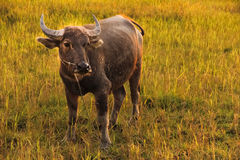 A Water Buffalo. A lone water buffalo in Thailand stands in the field as the sun sets giving a soft and natural golden glow to the image stock photography