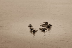 Water buffalo with long horns submerged in a lake in India Stock Image