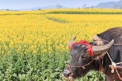 Water buffalo in Luoping, Yunnan China Royalty Free Stock Photo