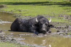 Water buffalo lying in the muddy stream Royalty Free Stock Image