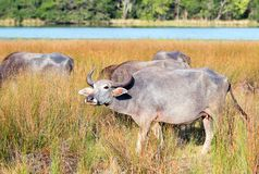 Water Buffalo in morning sunlight in Wilpattu National Park in Sri Lanka Royalty Free Stock Photography