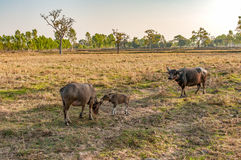 Water Buffalo Mother and Baby Eating Grass in Country Field Royalty Free Stock Photography
