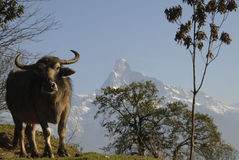 Water buffalo on a mountain in the Himalayas. Water buffalo on a mountain in the background of the summit of Annapurna massif, Himalayas, Nepal Royalty Free Stock Photo
