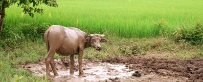 Water Buffalo in Mud stock images