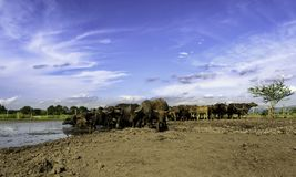 Water buffalo in mud. Water buffalo and blue sky Stock Photography