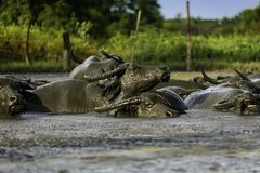 Water buffalo in mud. Close up water buffalo in mud Stock Photography