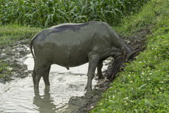 Water buffalo in mud II Royalty Free Stock Images