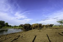 Water buffalo in mud. Water buffalo and blue sky Royalty Free Stock Images
