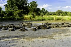 Water buffalo in mud. And blue sky Stock Images
