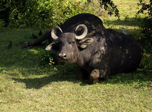 Water buffalo in a National Park Royalty Free Stock Photo