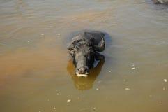 Water buffalo nepal Stock Photo