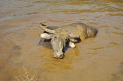 Water buffalo in Nepal Stock Photo