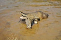 Water buffalo in Nepal Stock Photo