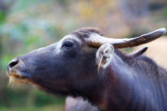 Water buffalo, Nepal. Water buffalo portrait close up on the blurred background Stock Images