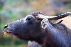 Water buffalo, Nepal Stock Images