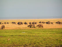 Water Buffalo. Ouside in Africa Royalty Free Stock Image