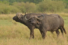 Water Buffalo with Ox pecker 2. Two water buffalo grazing the grasses of Africa Stock Photography