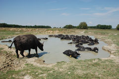 Water Buffalo by Pond Stock Images