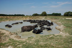 Water Buffalo in Pond Stock Images
