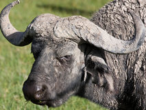 Water Buffalo Portrait Stock Image