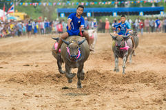Water buffalo racing in Pattaya, Thailand. PATTAYA - AUGUST 17: Young boys competing at the Buffalo Racing Festival of Nong Prue City at Mab Prachan Reservoir in Royalty Free Stock Photo