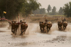 Water buffalo racing in Thailand. Royalty Free Stock Images