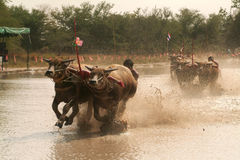 Water buffalo racing in Thailand. Stock Photography