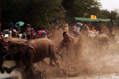 Water buffalo racing in Thailand. Stock Image