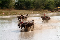 Water buffalo racing in Thailand. Royalty Free Stock Photo