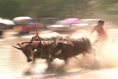 Water buffalo racing in Thailand. Royalty Free Stock Photos